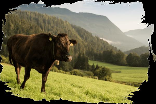 Bio-Wagyu-Kuh auf Bergwiese mit Wälder im Hintergrund mit verschwommenen Rahmen